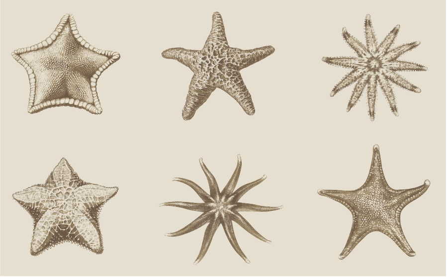 Sea_Star_Illustrations